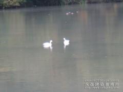 湖に白鳥が舞い降りる!!